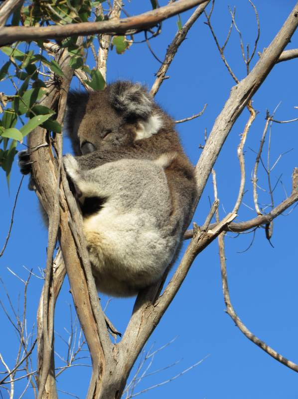 That is more like it - a typical koala sleeps about 20 hours a day